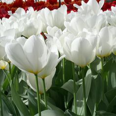 Top quality Purissima Tulip ( Fosteriana) covered by our Grow Guarantee! Spring Plants, Spring Bulbs, Oriental Lily, Tulip Bulbs, Parrot Tulips, White Tulips, Planting Bulbs, Bulb Flowers, Flower Beds