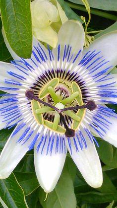 La passiflore: aussi belle qu'une orchidée mais plus facile à faire pousser!