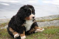 Little Bernese Mountain Puppy