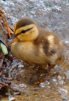 Cute Little Animals, Cute Funny Animals, Cute Ducklings, Baby Swan, Super Cute Puppies, Funny Duck, Little Duck, Cute Animal Photos, Baby Ducks