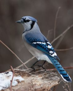 Blue jay. I definitely had one of these as a pet in my dream last night.
