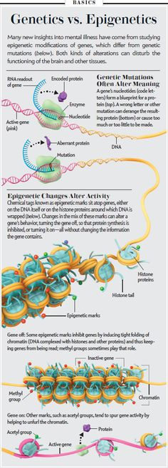 "A nice visual: Genetics vs. Epigenetics [Illustration by AXS Biomedical Animation Studio, for ""Hidden Switches in the Mind,"" by Eric Nestler, Scientific American, December Cell Biology, Ap Biology, Molecular Biology, Teaching Biology, Science Education, Life Science, Science And Nature, Forensic Science, Higher Education"