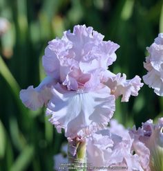 Photo of Tall Bearded Iris (Iris 'Poem of Love') uploaded by ARUBA1334