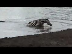 Hippos save a zebra after crocodile attack