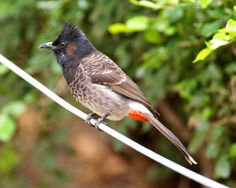Red-vented Bulbul - Indian sub-continent, including Sri Lanka, extending east to Burma & parts of Tibet