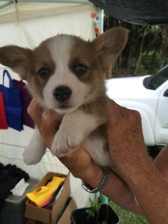 This corgi lady who is vying for the title of world's cutest puppy...and SHE MIGHT JUST TAKE THE TOP SPOT.