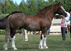 sugarbush draft horse   Horse Frame Heaviness   The Equinest