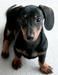 A beautiful black and tan miniature dachshund puppy.