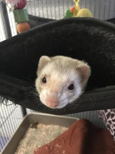 Meet Miss Snuggles, an adoptable ferret looking for a forever home. If you're looking for a new pet to adopt or want information on how to get involved with adoptable pets, Petfinder.com is a great resource.