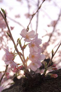 SAKURA by Shingan Photography, via Flickr