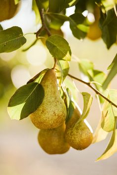 Pears are known diuretics that stimulate the kidneys to eliminate urine in the treatment of hypertension, dropsy, edemas, kidney stones, renal inadequacy & bladder & prostrate inflammation by making infusions from its dried leaves & water.  Its dietary benefits treat gout, colitis & diabetes.  It reduces cholesterol & lowers blood pressure.