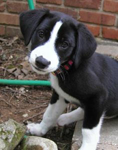 I just found out that a lab and a border collie mix is called Borador. That's what my Jordi is :) Lab Mix Puppies, Baby Puppies, Cute Puppies, Cute Dogs, Dogs And Puppies, Border Collie Lab Mix, I Like Dogs, All Dogs, Dog Mixes