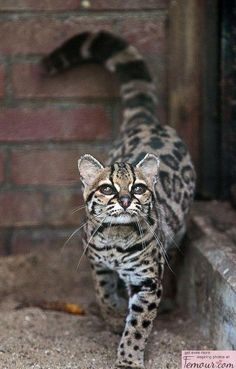 Margay cat, very rare, often confused with ocelot. ---this is the only cat whose hind legs rotate 180 degrees, allowing them to run headfirst down trees.- whoa that''s crazy!