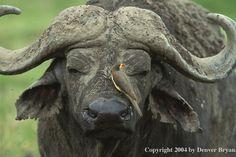 Cape Buffalo and Oxpecker.