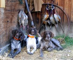 Chippewa German Shorthair Pointers; Corvallis, Oregon