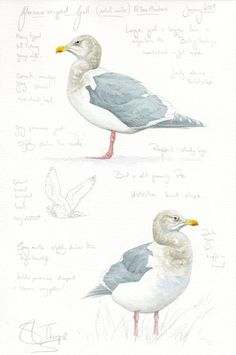 Glaucous winged Gull NTees Marshes 2009