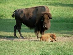 Sequoyah Bay State Park in NE Oklahoma is home to a small herd of American Bison, otherwise known as buffalo.