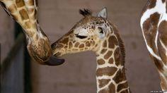Awwweee!!! Mommy & baby giraffe:)