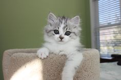 RagaMuffin Breeder of RagaMuffin kittens and RagaMuffin cats for sale. Ragamuffin Kittens, Kittens Cutest, Kitten For Sale, Cats For Sale, Fancy Cats, We Fall In Love, Cute Baby Animals, Cat Breeds, Cat Lady