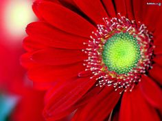 Red Gerbera Daisy (my favorite flowers) Flower Images Free, Beautiful Flowers Images, My Flower, Pretty Flowers, Flower Power, Red Images, Colors Of Fire, Simply Red, Shades Of Red