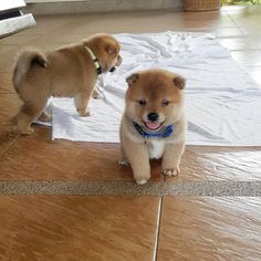shiba inus are such little floofs
