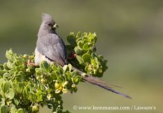 White-backed Mousebird.