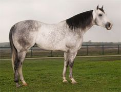 Stallion | Stallionesearch.com - The First Stop in Stallion Research for Breeders ...