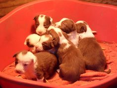 Red & White Border Collie Pups