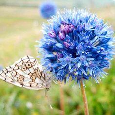 Allium Bulbs - Blue Drumstick