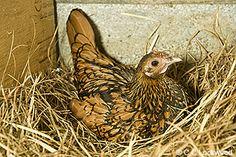 Golden seabright bantam brooding on her nest - pretty little face