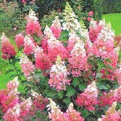 Hydrangea 'pinky winky'. I love Hydrangeas. I planted six this Spring.