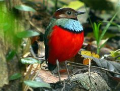 Red-Bellied Pitta - Erythropitta erythrogaster - This bird found in Australia, Indonesia, Papua New Guinea and the Philippines, is of the family Pittidae - Its natural habitat is subtropical or tropical moist lowland forests