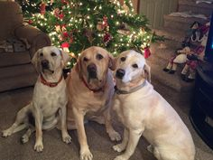 Yellow labs at Christmas