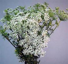 Queen Anne's Lace  Green Mist Mayesh Wholesale Florists - Search our Flower Library