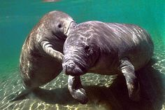 Baby manatee with his mother, it looks like he's telling her a secret JUNE 17