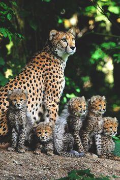 cheetah mom & cubs