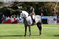 Connemara stallion Black Shadow Connemara Pony, Pony Breeds, Black Shadow, Palomino, Horses, Cob, Irish, Animals, Sport