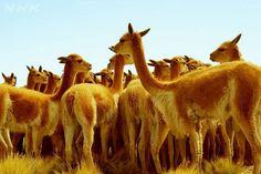 黄金の毛を持つ希少動物・ビクーニャ