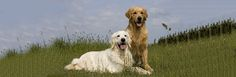 It is always a possibility that dogs who stay together might not get well along. Sometimes, some very serious wounds are caused in such encounters. So how can one take control of such a situation? Pretty Cool, Pet Care, Your Dog, Labrador Retriever, Pets, Friends, Awesome, Animals, Labrador Retrievers