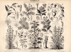 1893 Medicinal Plants Antique Print Botanical by Craftissimo, €12.95
