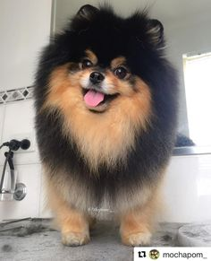 This sweet pomeranian puppy will warm your heart. Dogs are amazing friends. Spitz Pomeranian, Cute Pomeranian, Pomeranians, Black Pomeranian, Bts Dogs, Cute Dogs And Puppies, Funny Puppies, Funny Dogs, Cute Little Animals