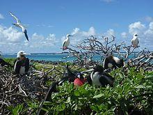 Great Frigatebirds and Red-footed boobies at Tern Island, Hawaii