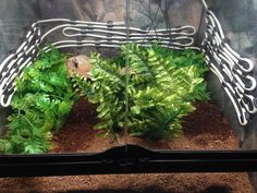 Pac man frog set up pics? Frog Tank, Whites Tree Frog, Frog Terrarium, Pacman Frog, Pet Frogs, Frog And Toad, Pac Man, Reptiles And Amphibians, Lizards