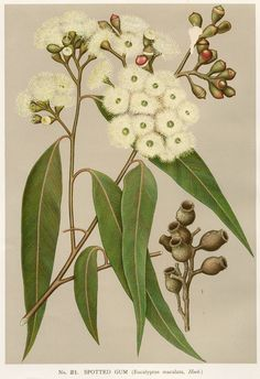 Australian Botanical Illustration  Corymbia maculata  Spotted Gum  artist: Edward Minchen (1862-1913)  from: 'The Flowering Plants and Ferns of New South Wales - Part 6' (1897)  by J H Maiden  NSW Government Printing Office  Painted as Eucalyptus maculata
