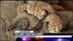 Metro Richmond Zoo welcomes birth of five cheetah cubs - NBC12.com - Richmond, VA News