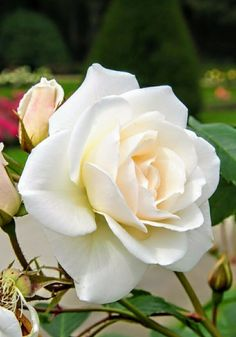 According to historians, Cleopatra is said to have scattered rose petals before Mark Anthony's feet. Pretty Roses, Beautiful Roses, Beautiful Gardens, Flowers Nature, Love Flowers, White Flowers, Love Rose, Arte Floral, Pink Roses
