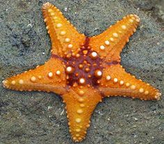 There are believed to be over 2000 species of starfish living in our oceans. They can be found in the warmest tropical waters as well as the cold seabed. The most common variety has five arms but amazingly you will find some with in excess of forty arms!