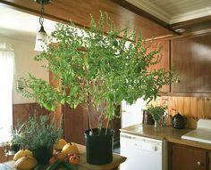plant de basilic en pot âgé de 3 ans Permaculture, Pots, Pot Jardin, Planters, Green, Table, Gardens, Basil, Vegetable Gardening