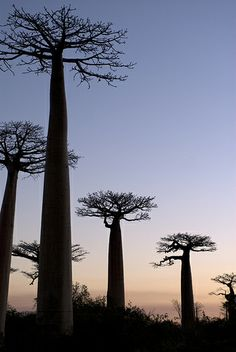 Sunset Baobabs, Morondava, Madagascar  sure it's a destination, though tbh these trees are kinda ugly. but, good reminders of french lessons and le petit prince!