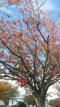 #Autumnleaves #newzealandautumn